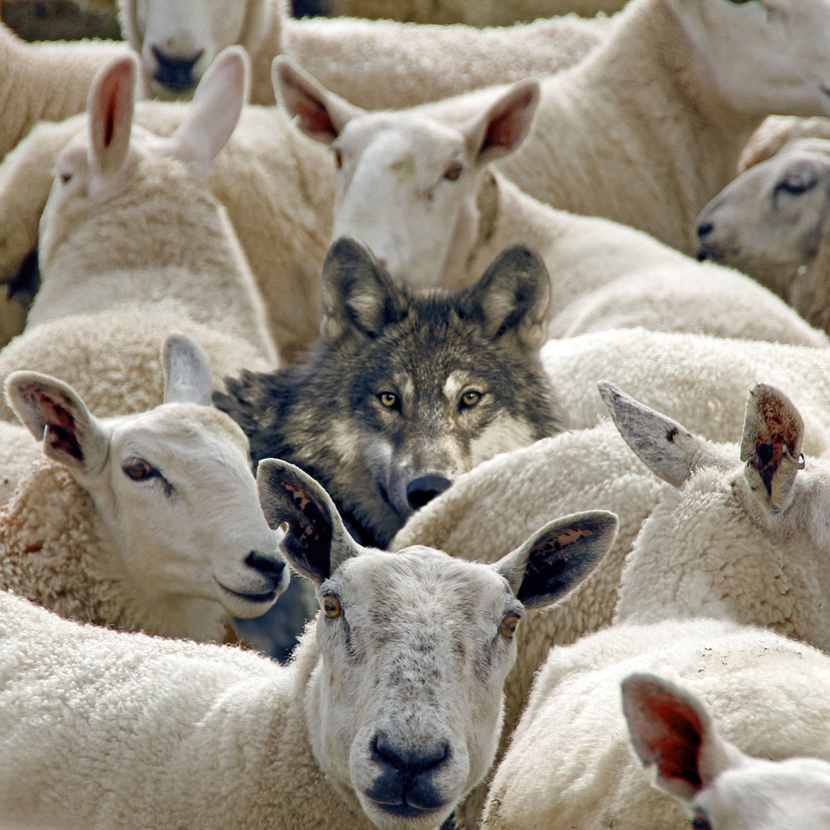 Wolf in with the sheep