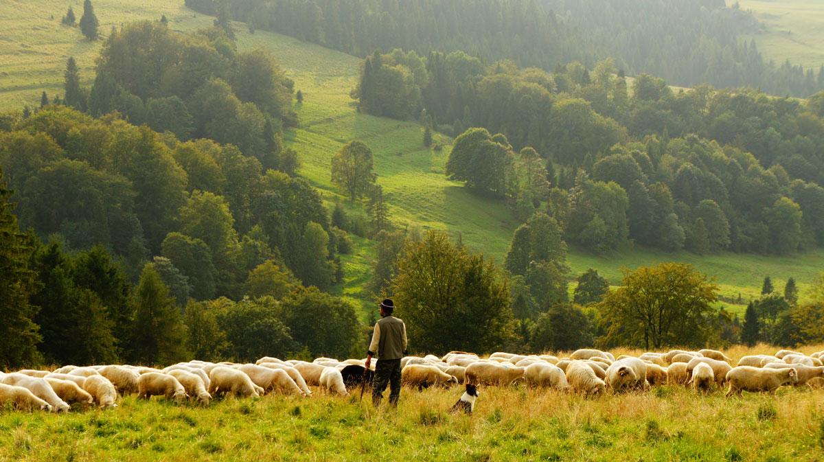 shepherd with flock in green fields